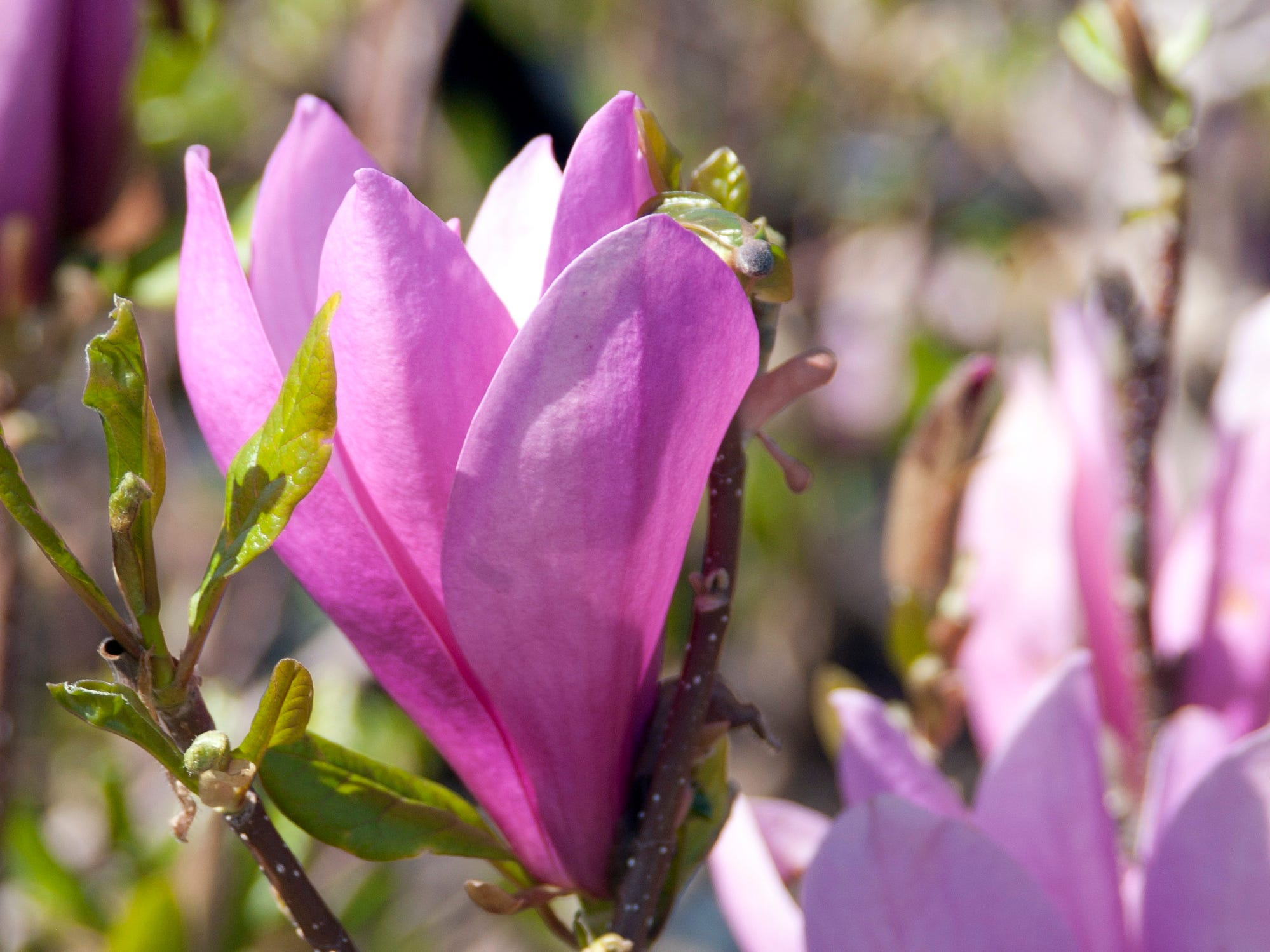 A dark pink line on outer petals distinguishes the flowers on the Leonard Messel magnolia.