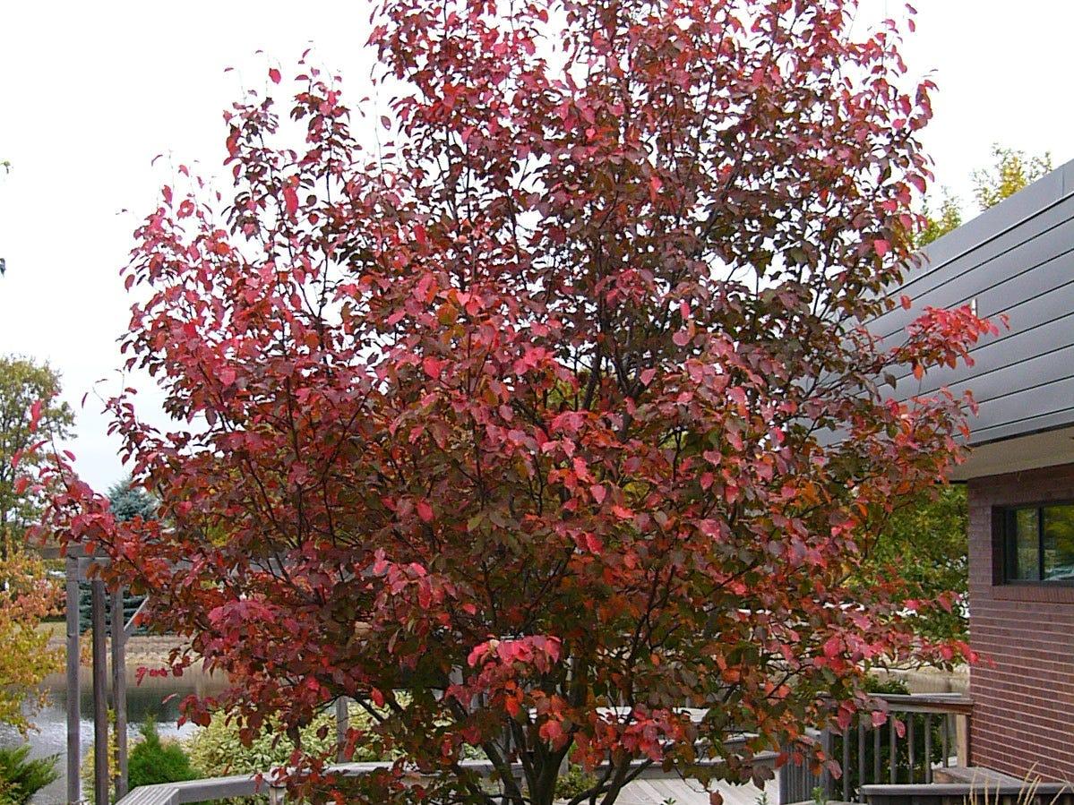 Fall foliage on the Robin Hill serviceberry.