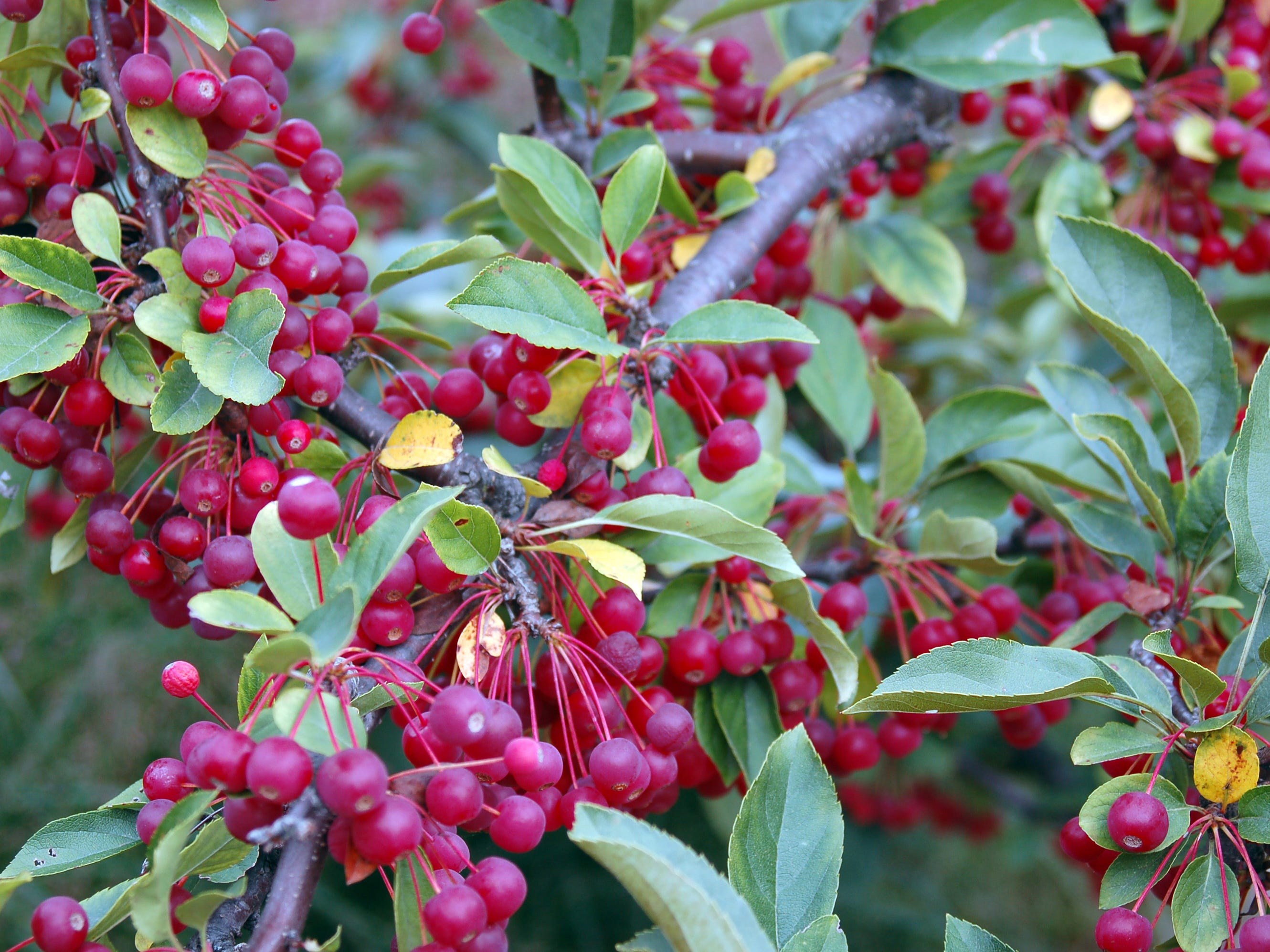 The Tina crabapple is a dwarf tree that cevelops small, red, persistent fruit.