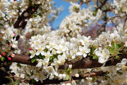 Ornamental trees small hardy trees can beautify yard clusters of white flowers characterize the tina crabapple mightylinksfo