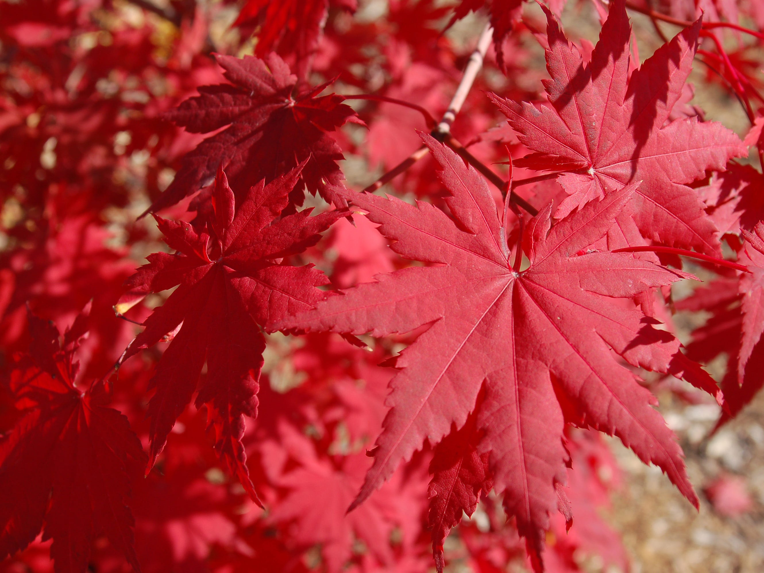 Fall foliage on the Korean maple can be a deep orange-red.