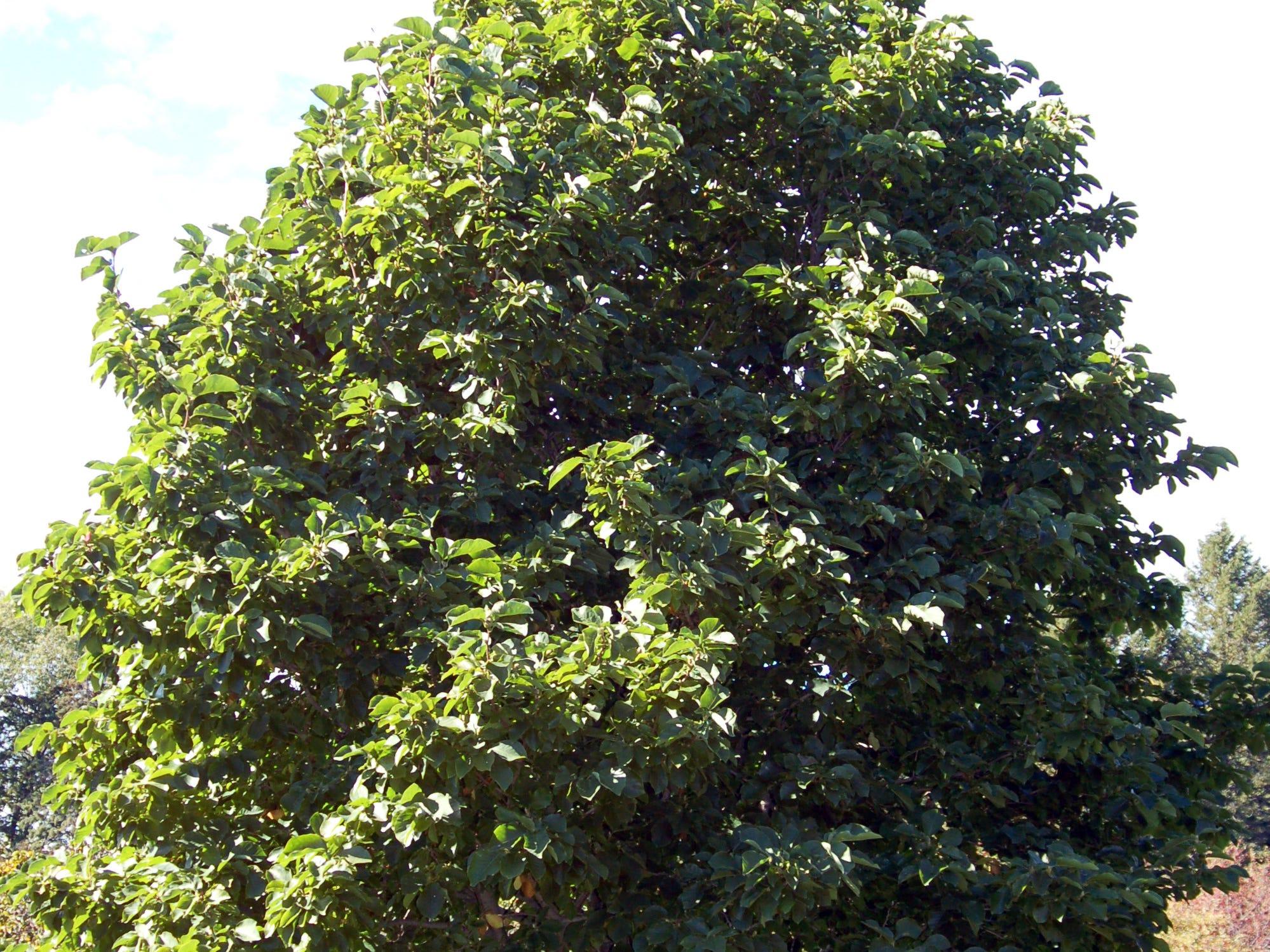 The Elizabeth magnolia grows in a pyramidal shape to 30 feet tall.