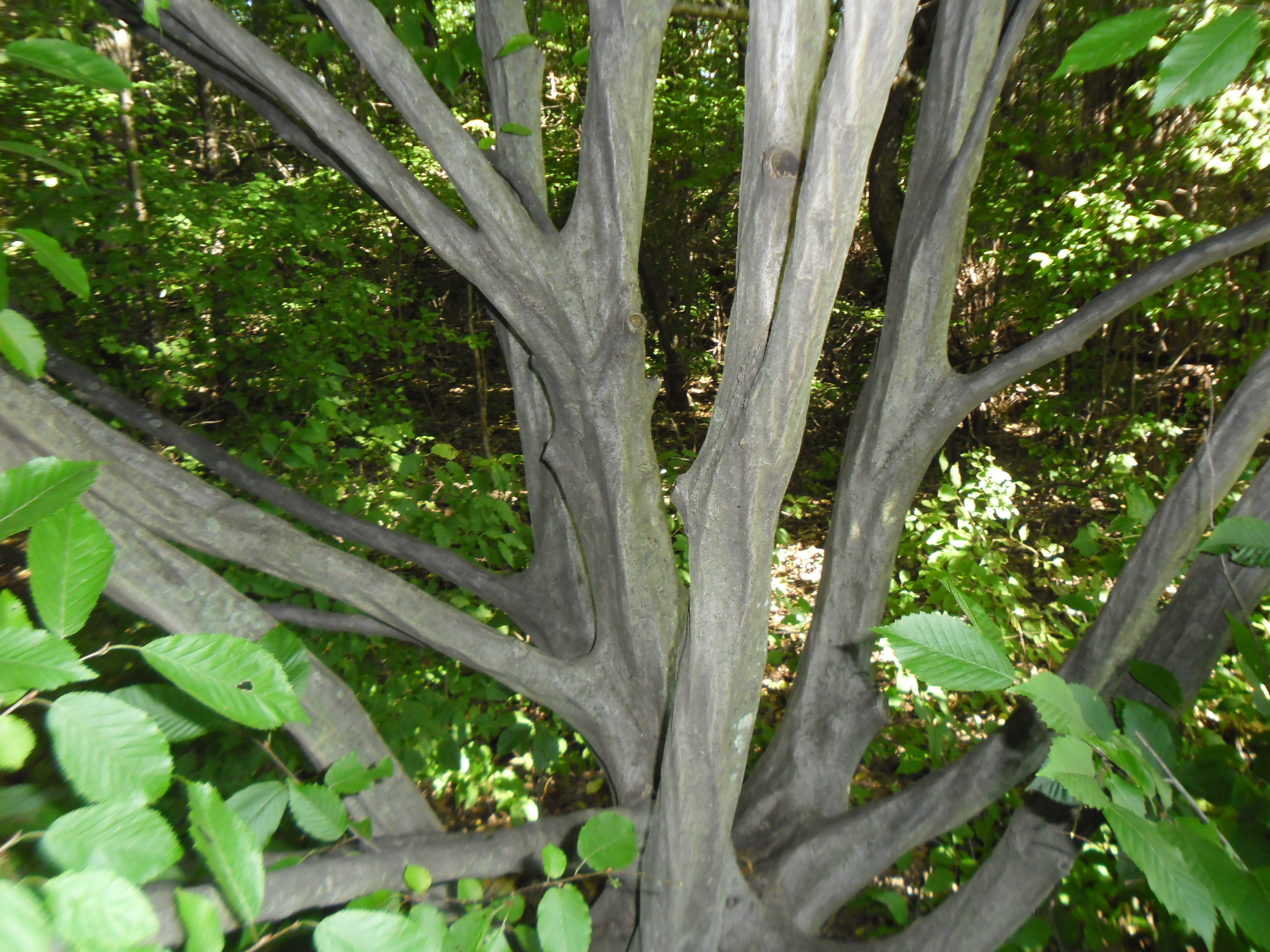 American hornbeam is called musclewood because its main stems undulate and bulge like muscles.