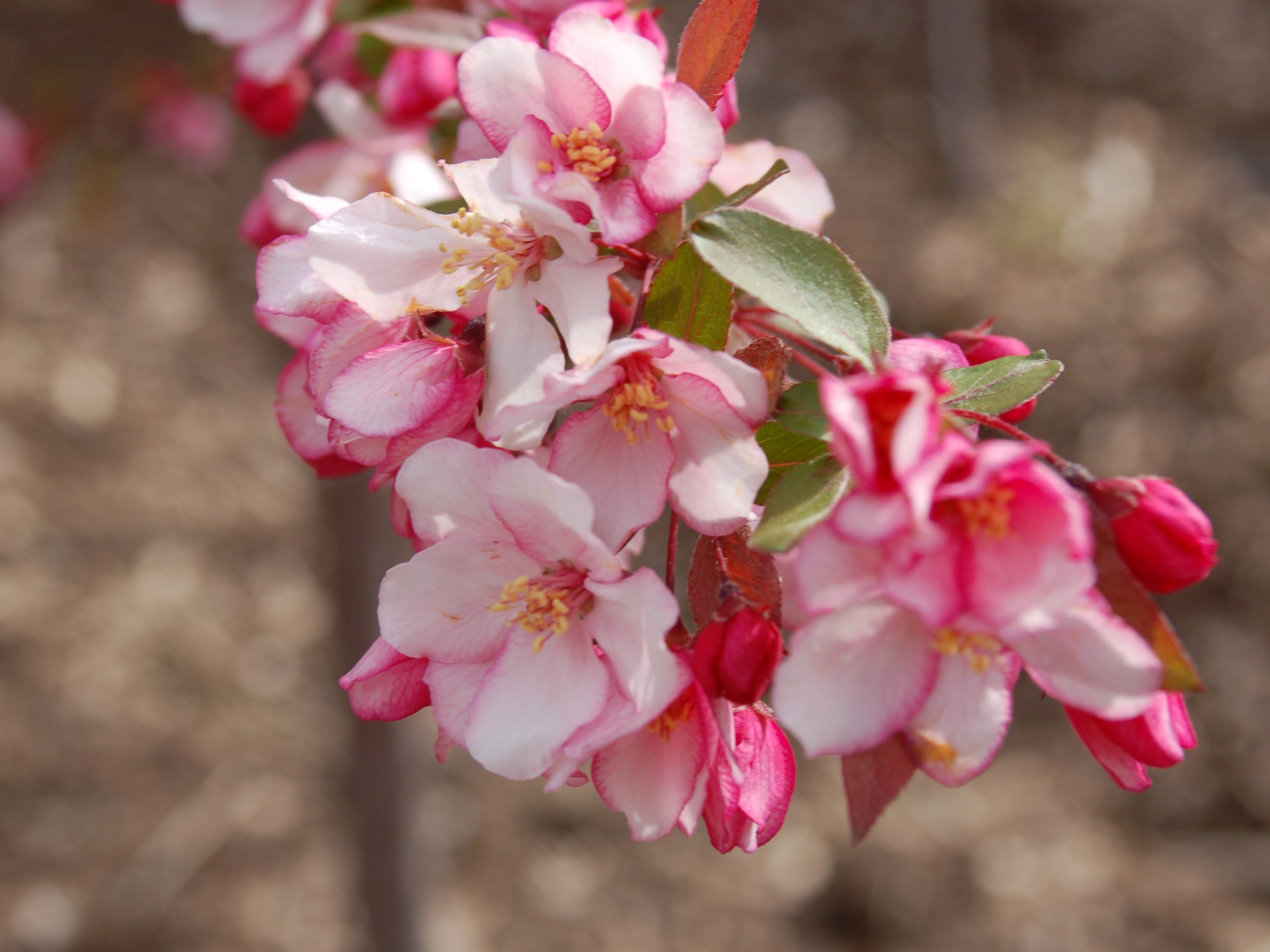 Closeup of the flowers on the Candymint crabapple.