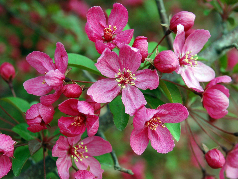 The Prairifire crabapple impresses with magenta flowers.