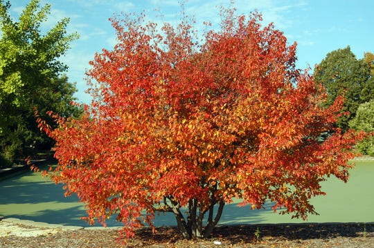 This American hornbeam has showy yellow, orange and red fall color. It is native to Wisconsin and likes sun or partial shade.