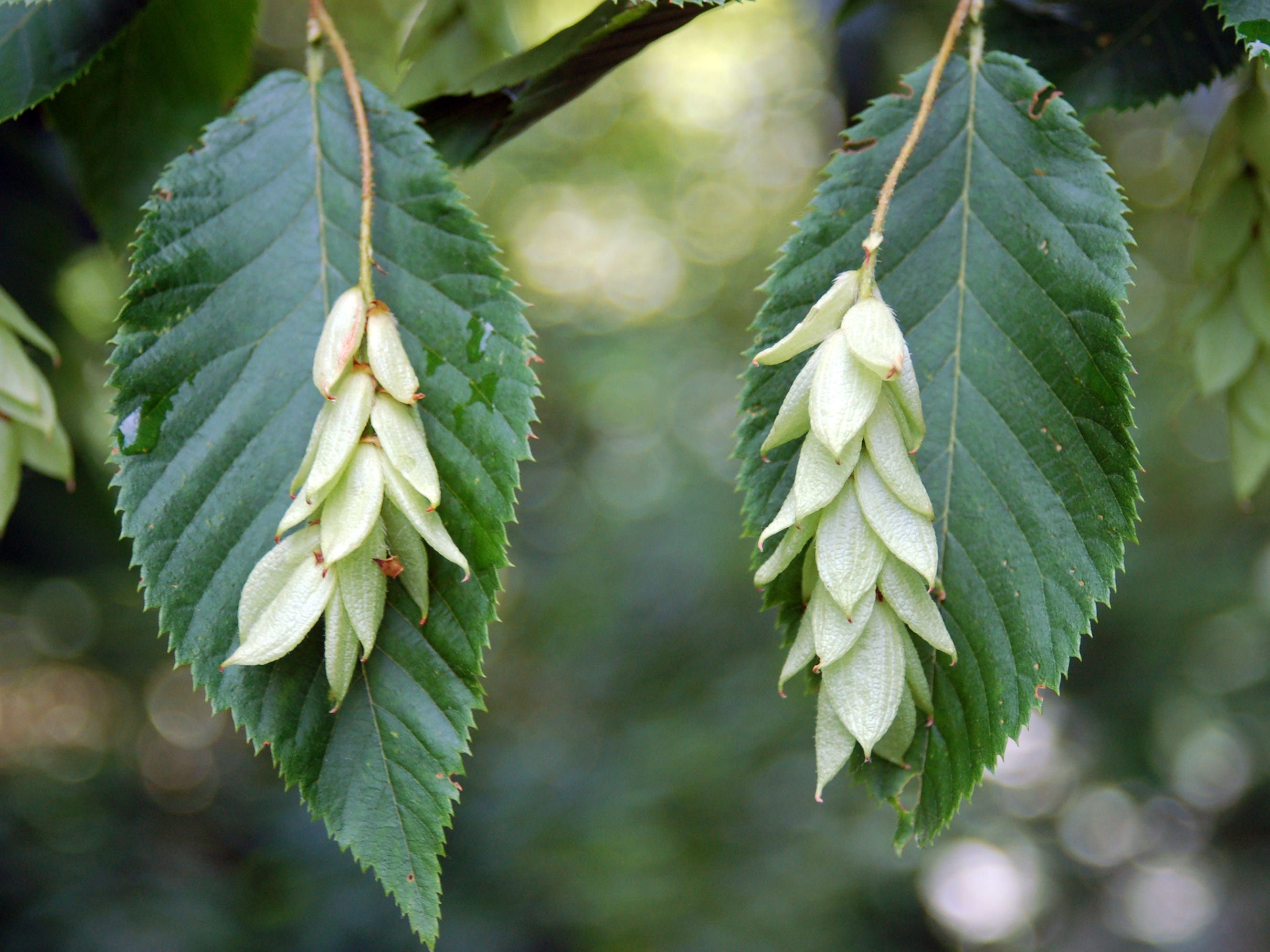This is the fruit on the Ironwood American Hophornbeam.