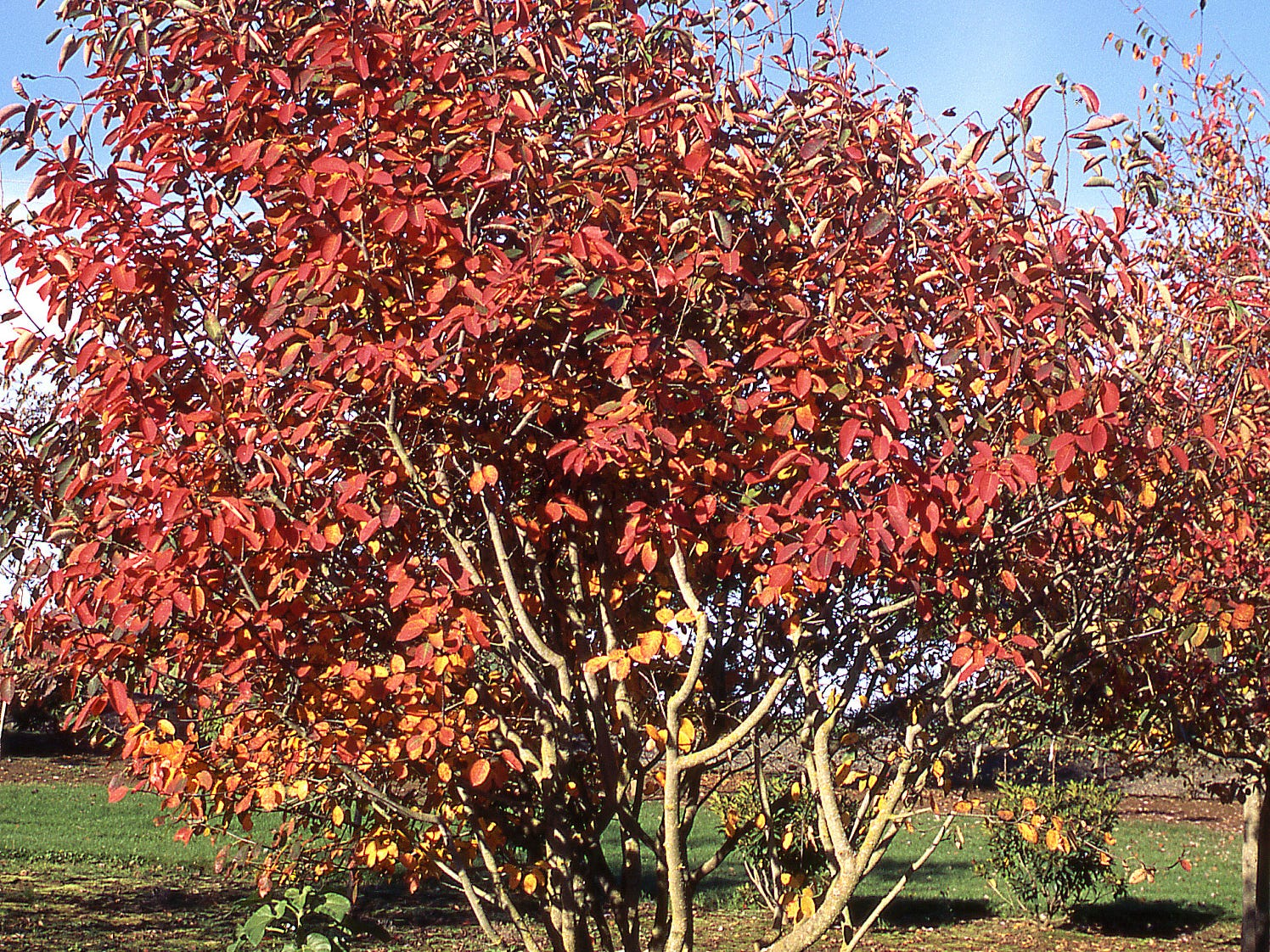 The Autumn Brilliance serviceberry tree lives up to its name.
