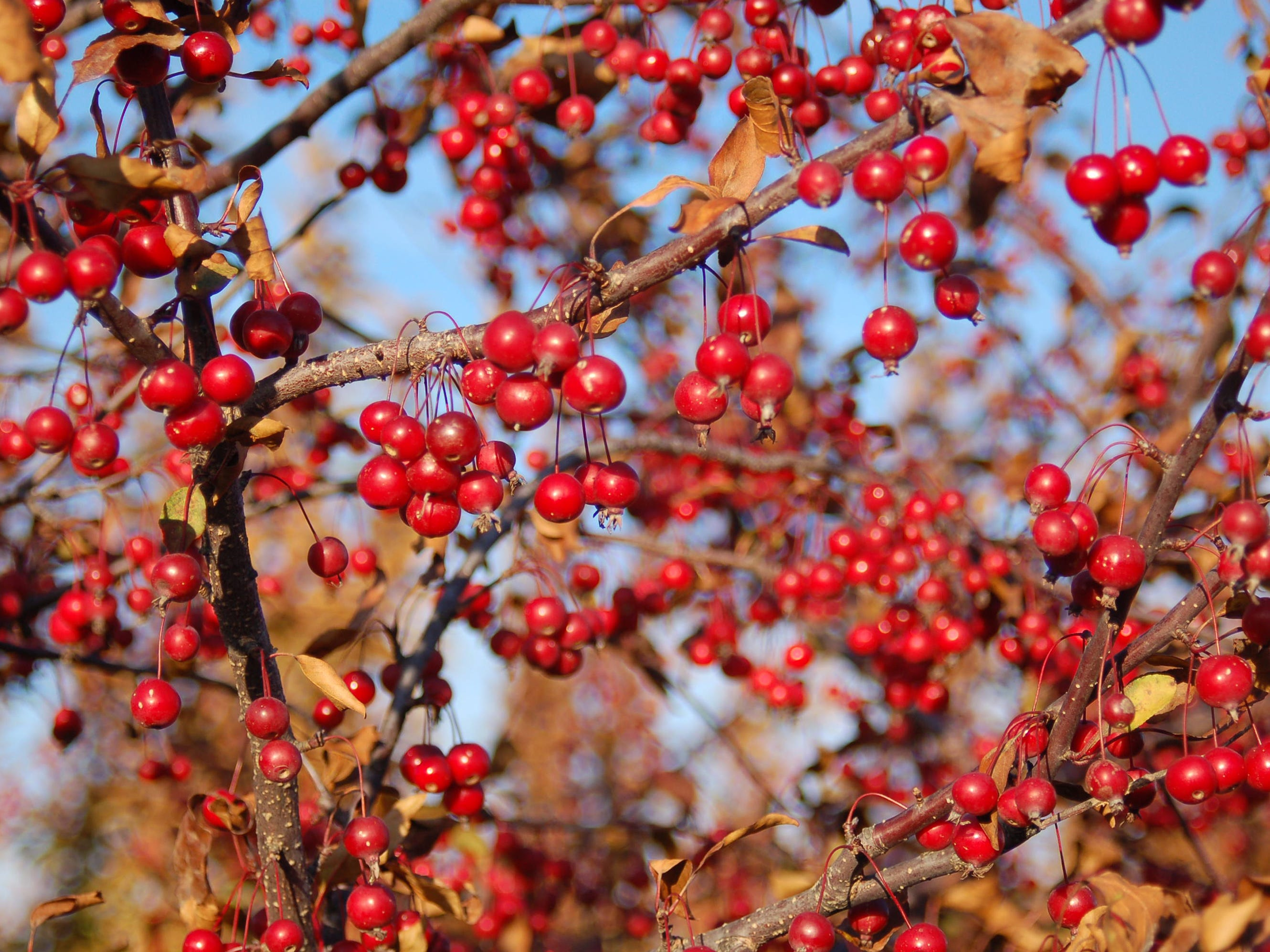 These red fruits appear on the Prairifire crabapple.