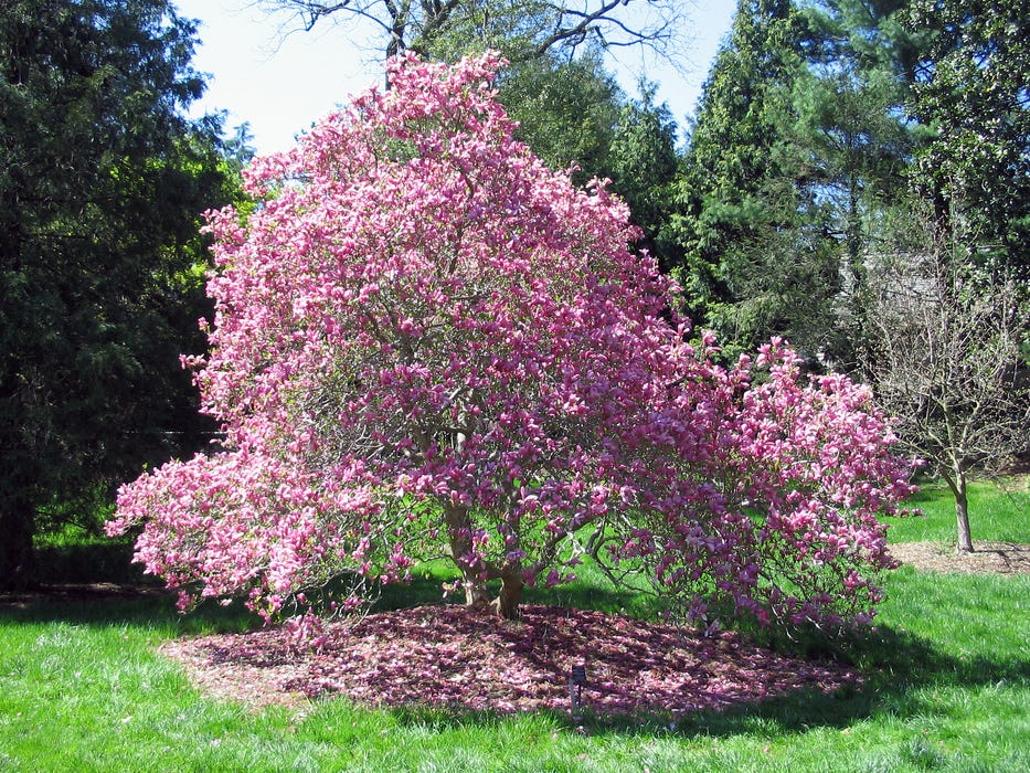 The mature Ann magnolia gets only 8 to 10 feet tall.