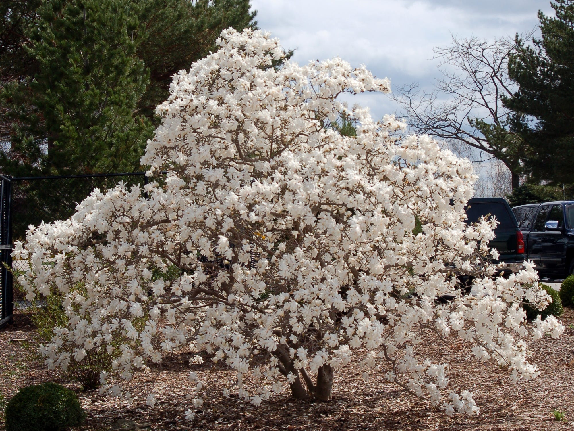 The Star magnolia produces star-shaped fragrant white flowers  in early spring.