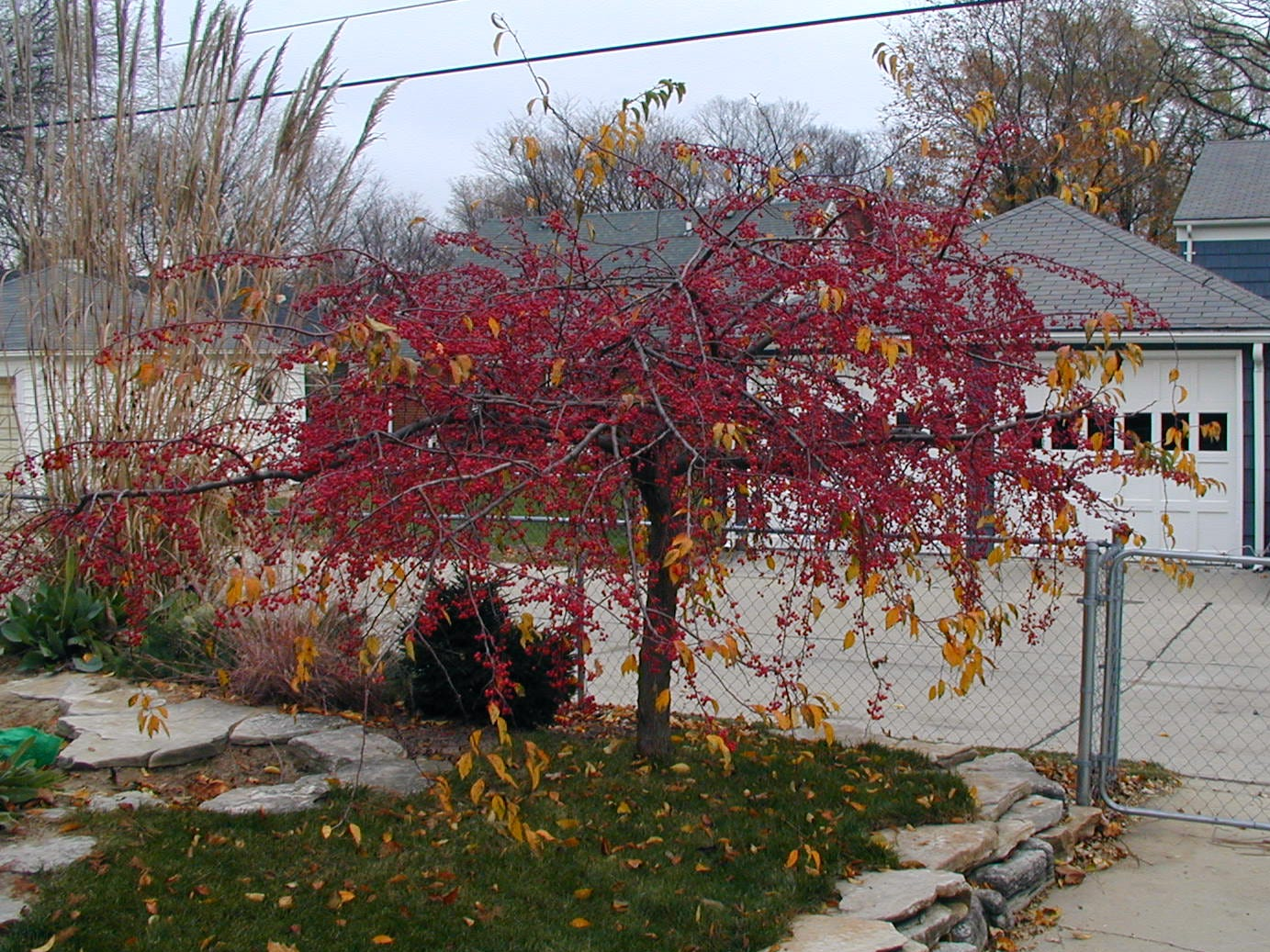 """The Anne crabapple is a spreading, horizontal """"weeper."""""""