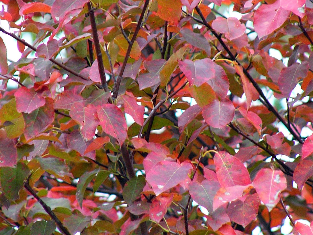 Closeup of the pink-orange foliage on the Robin Hill serviceberry.