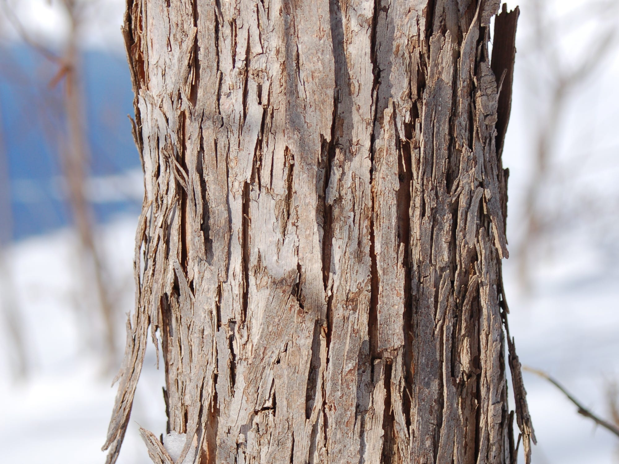 The Ironwood American hophornbeam has flaky, peeling to shreddy bark in long vertical, narrow strips.