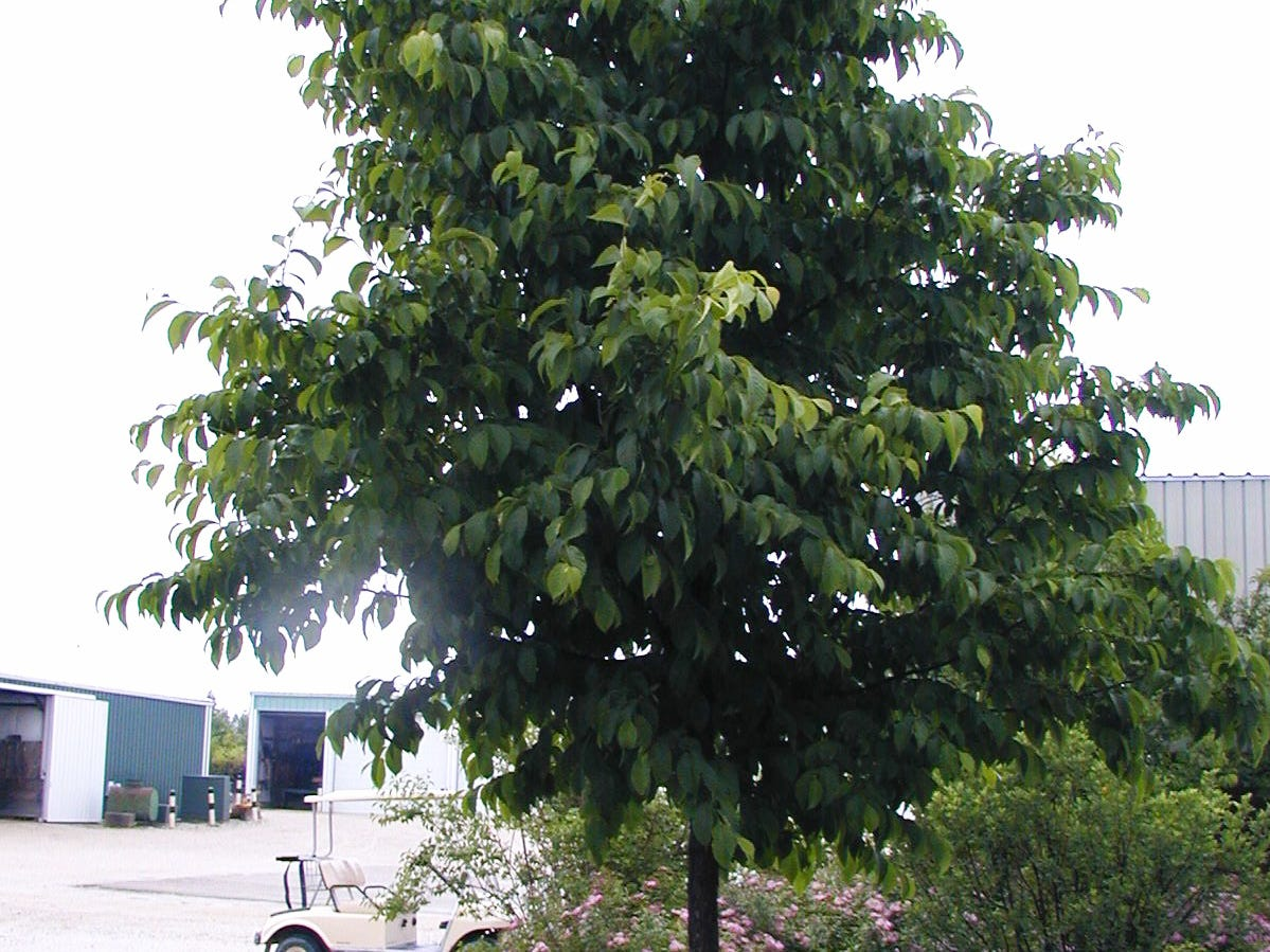The Ironwood American Hophornbeam tree gets up  to 30 feet in height.