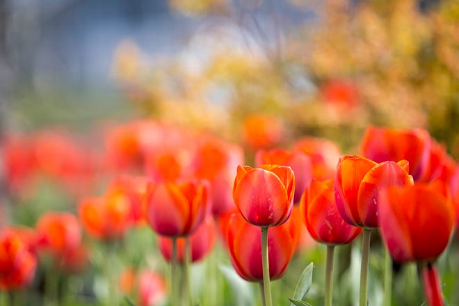 Red tulips in the setting sun