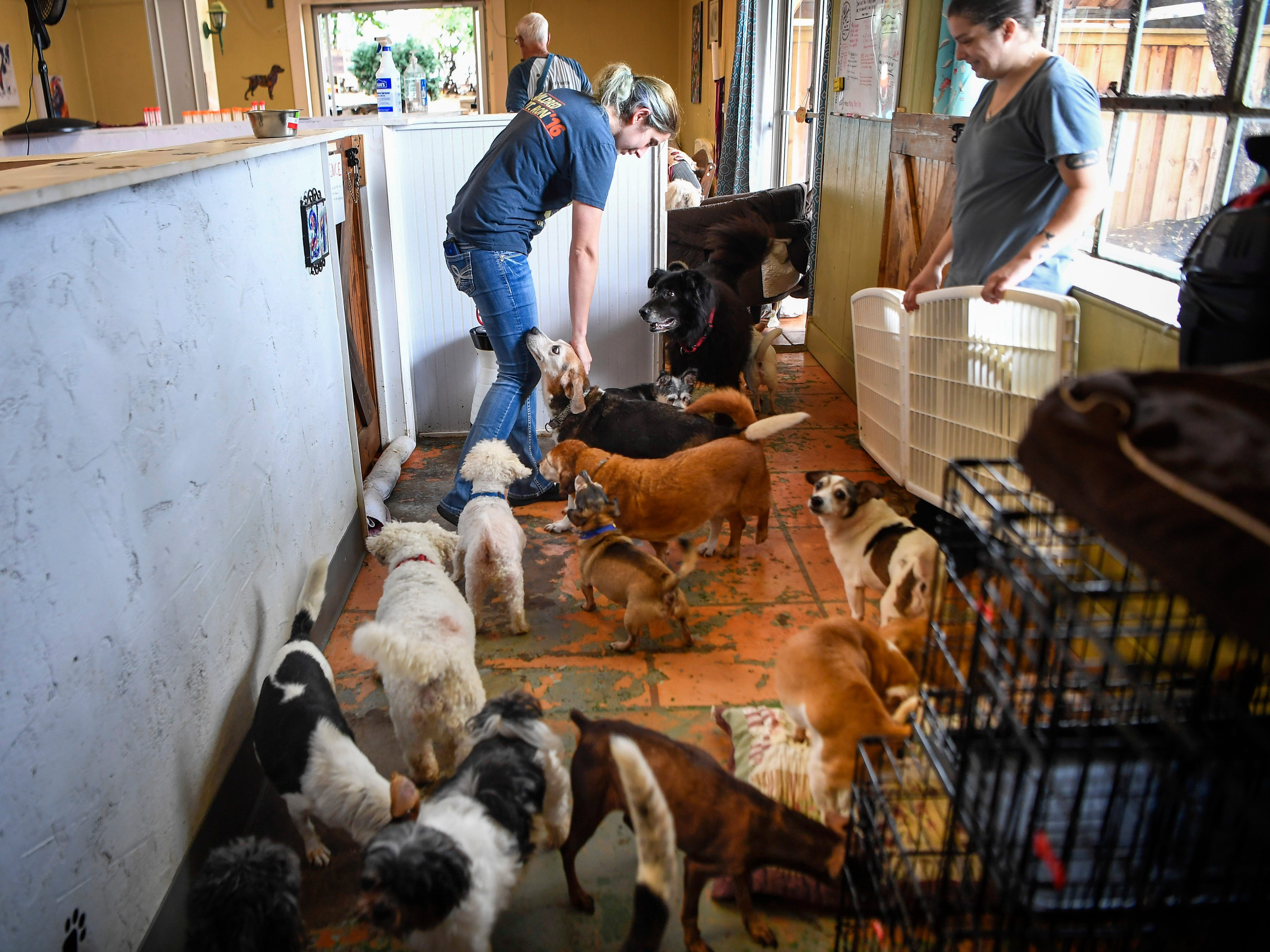 Kat Simpkins the dog care manager loves on the dogs after their breakfast at the Old Friends Senior Dog Sanctuary in Mount Juliet, Tenn., Monday, Sept. 24, 2018.