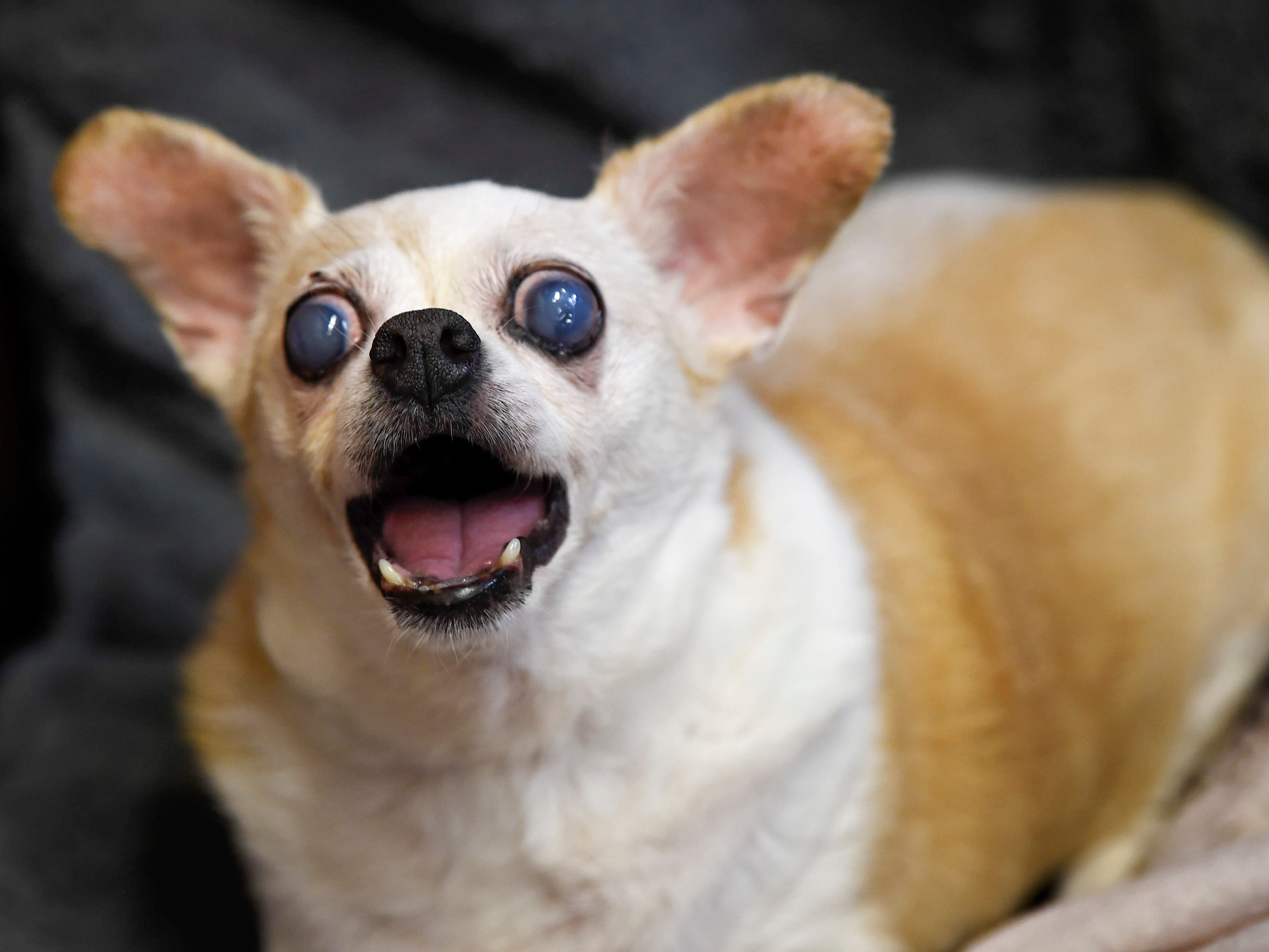 Nina a blind senior Chihuahu mix barks at visitors at the Old Friends Senior Dog Sanctuary in Mount Juliet, Tenn., Monday, Sept. 24, 2018.