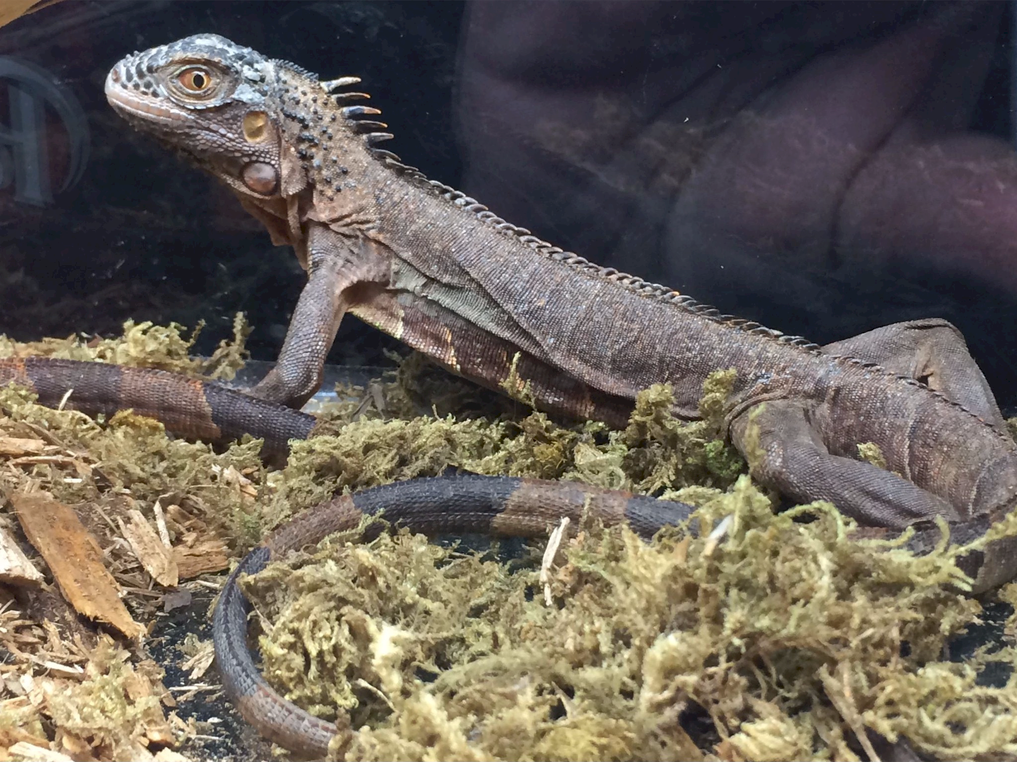 Looking for a new family pet, like an iguana? Hundreds of reptiles, amphibians, spiders, small exotic animals and more will be at Repticon Baltimore on Sept. 29-30 at the Maryland State Fairgrounds in Timonium. Vendors, breeders and educators will be at the family-friendly expo, which will feature seminars, merchandise and live interactions with potential pets. The expo runs from 10 a.m. to 5 p.m. Saturday and 10 a.m. to 4 p.m. Sunday. Tickets are $10 for adults, $5 for kids 5-12 and under 5 are free. Visit repticon.com/maryland/baltimore for more.