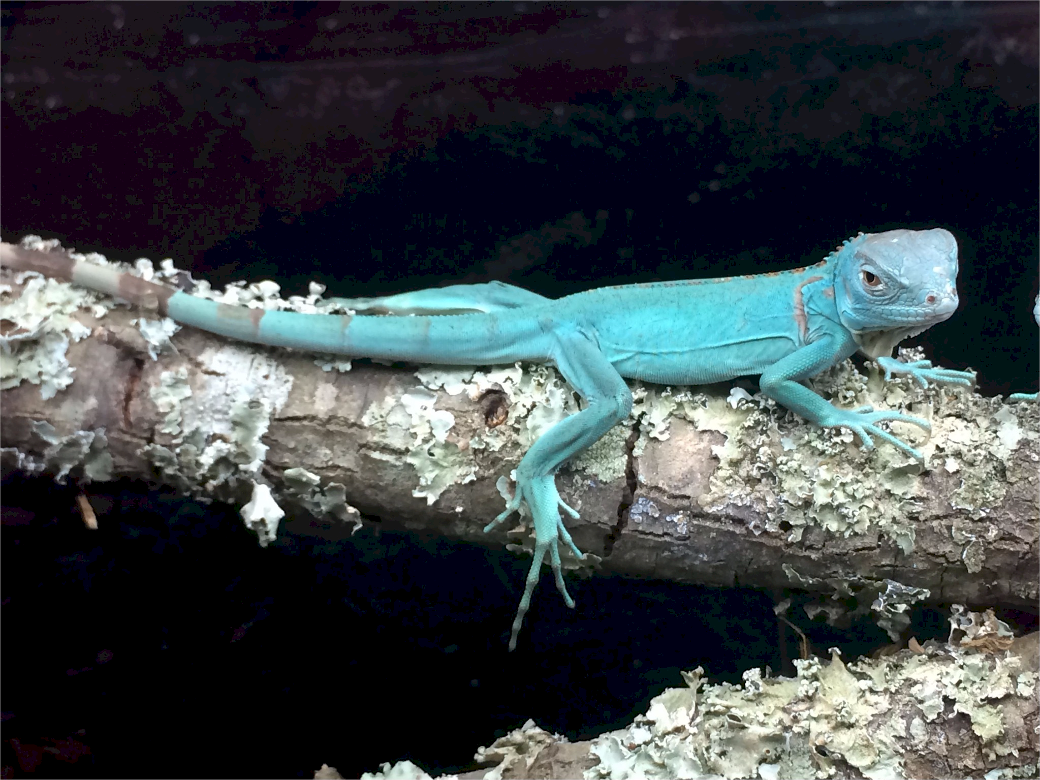 Looking for a new family pet, like a blue iguana? Hundreds of reptiles, amphibians, spiders, small exotic animals and more will be at Repticon Baltimore on Sept. 29-30 at the Maryland State Fairgrounds in Timonium. Vendors, breeders and educators will be at the family-friendly expo, which will feature seminars, merchandise and live interactions with potential pets. The expo runs from 10 a.m. to 5 p.m. Saturday and 10 a.m. to 4 p.m. Sunday. Tickets are $10 for adults, $5 for kids 5-12 and under 5 are free. Visit repticon.com/maryland/baltimore for more.