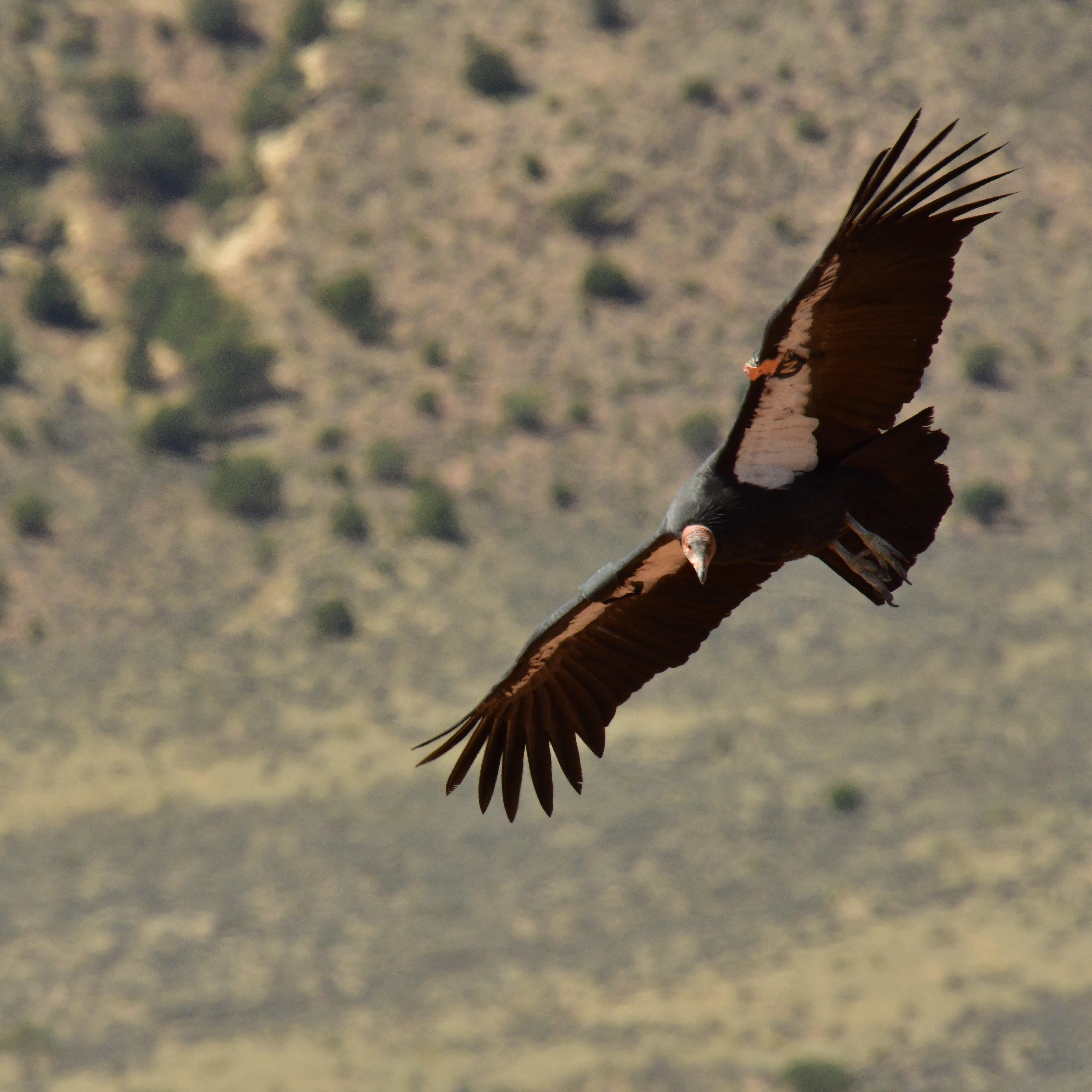 A California condor flies through the air at Vermilion Cliffs National Monument on Sept. 22, 2018.