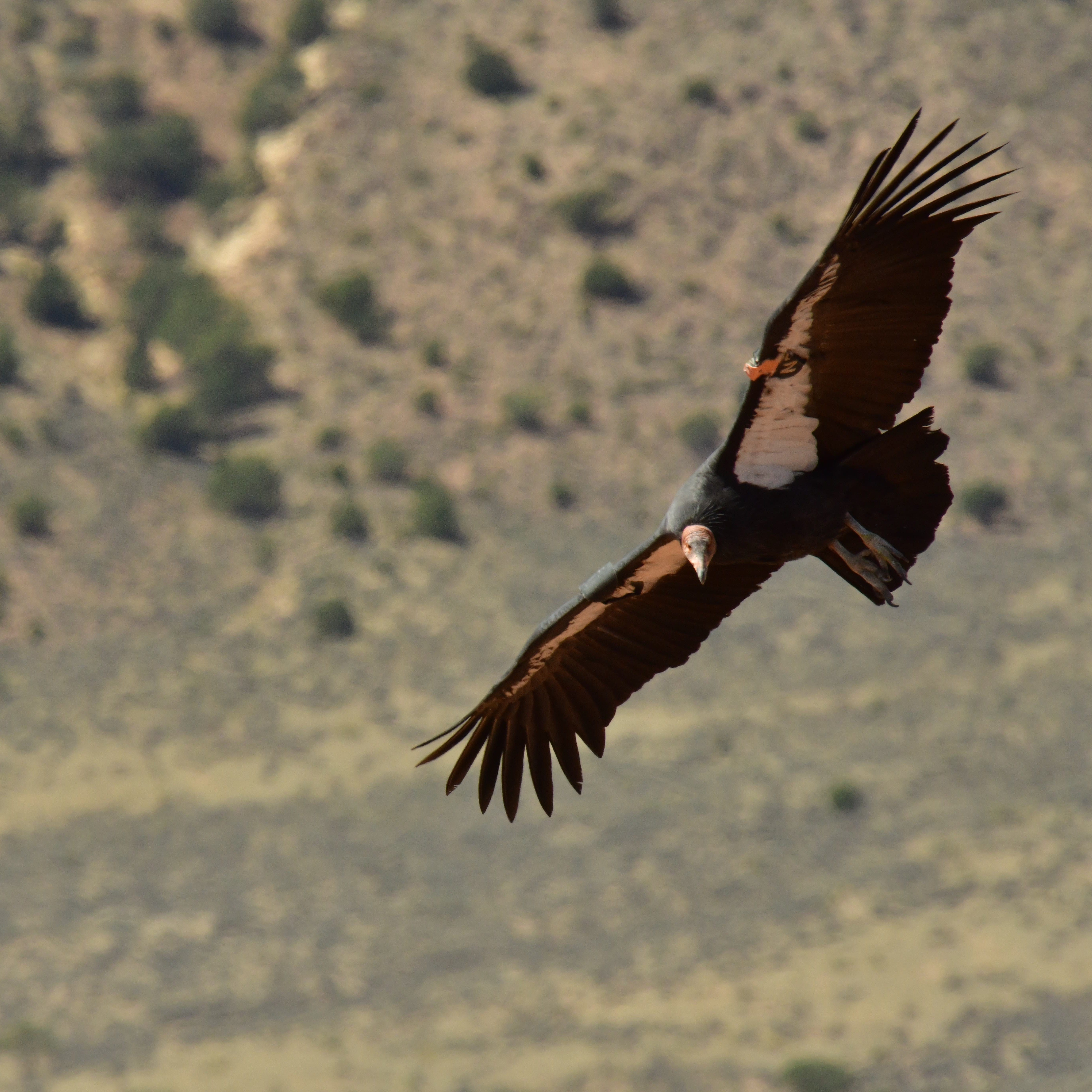 As California condors struggle in the wild, more are released in northern Arizona