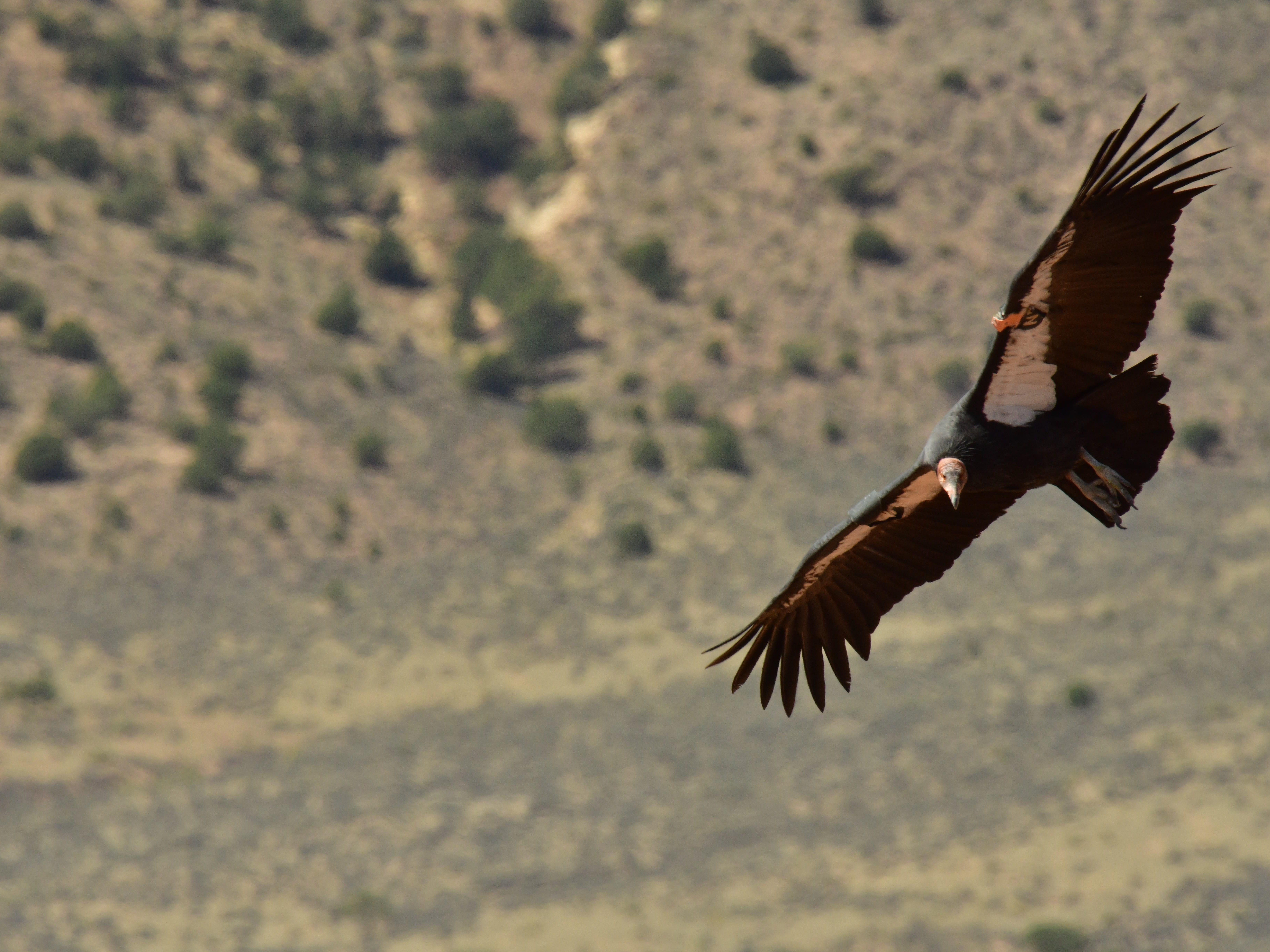 A California condor flies through the air at Vermilion Cliffs National Monument on Sept. 22, 2018.