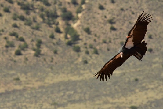 California condor release