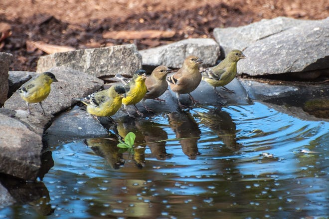 Shallow backyard ponds and puddles, especially with a small pump to make the water trickle, can give birds life-saving places to drink and bathe.