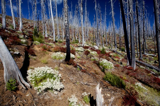 In the Eight Lakes Basin of the Mount Jefferson Wilderness, nature is slowly making a comeback 15 years after the B&B Complex burned this area.