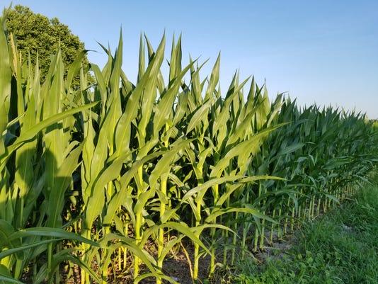 Wicomico cornfield