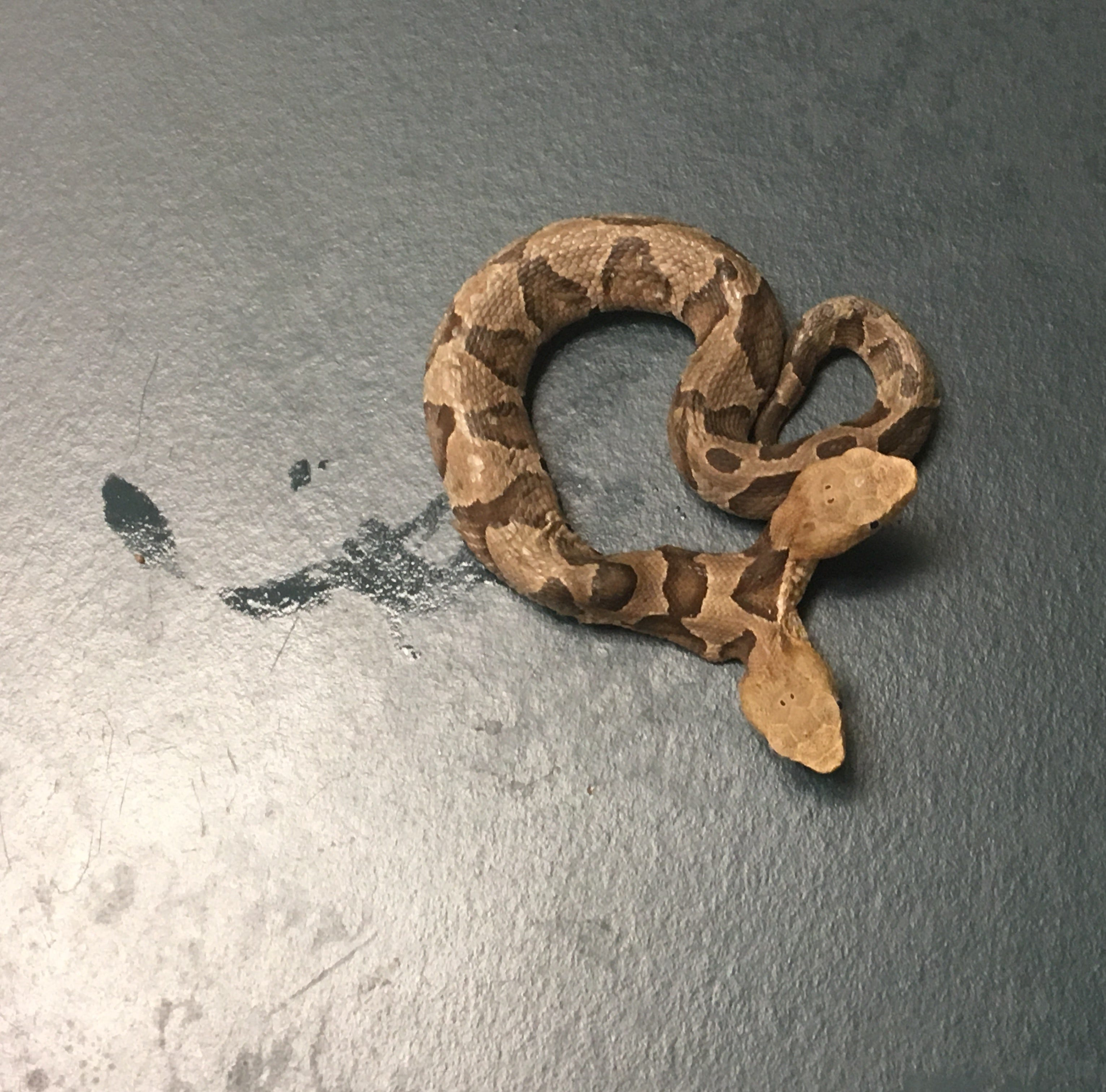 A two-headed copperhead was taken into the Wildlife Center of Virginia Sept. 20 after it was found in Northern Virginia.