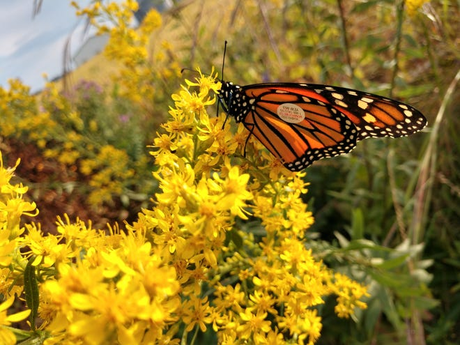 This photograph of a monarch butterfly on showy goldenrod was taken by Cheryl Corney, in her own yard,about one month ago.Note the tag she placed on its wing moments before releasing it.