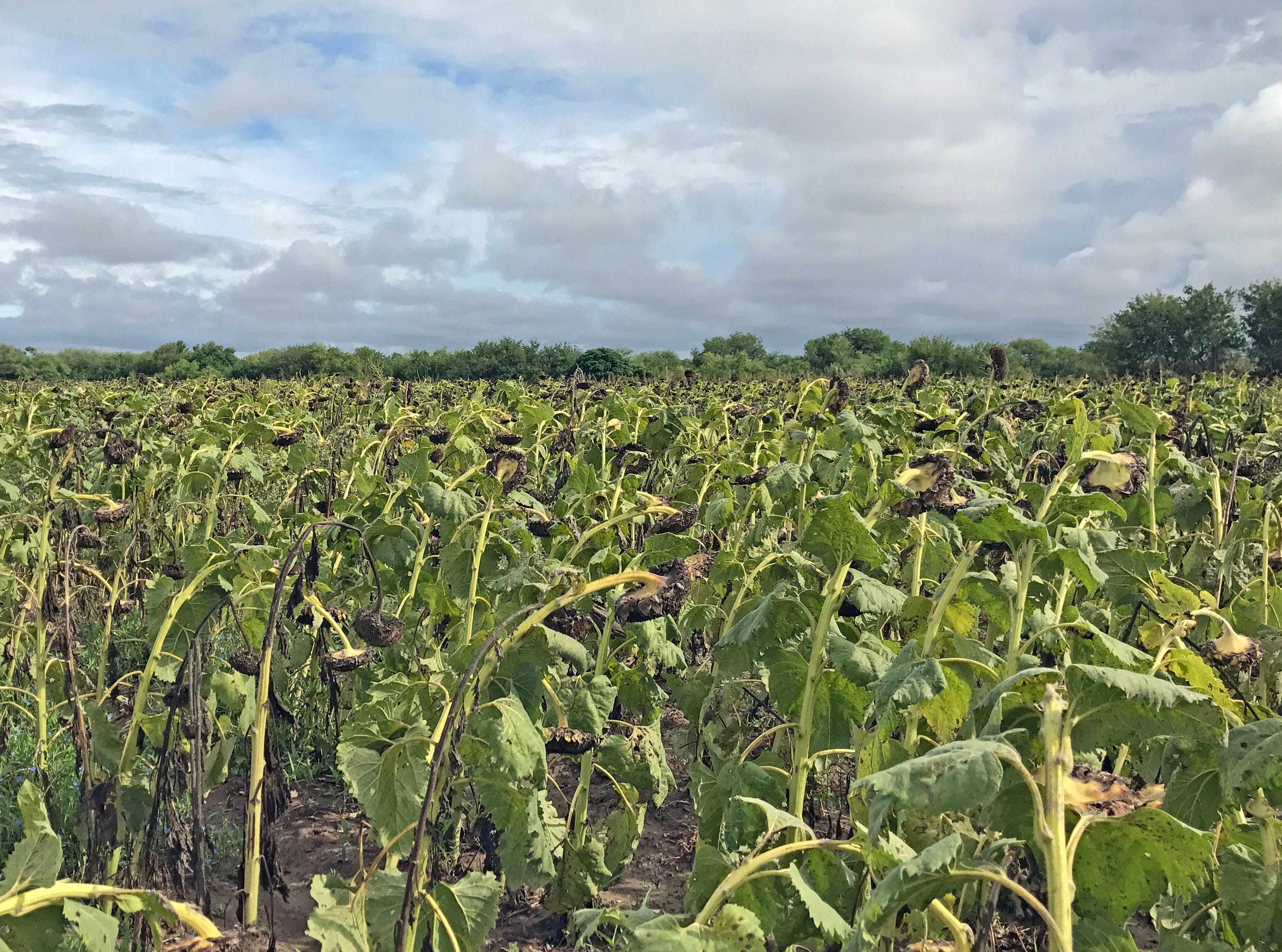 All varieties of dove seem to be attracted to these Rio Grande Valley sunflower fields.