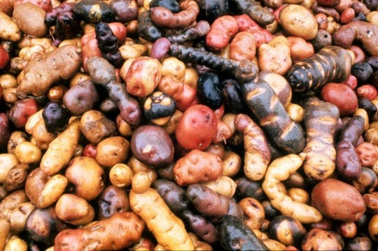 A sample demonstrating the diversity of Andean potatoes.