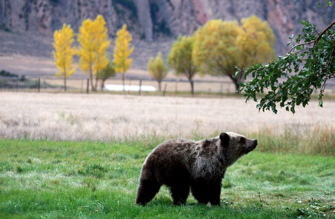 In this Sept. 25, 2013, file photo, a grizzly bear cub searches for fallen fruit beneath an apple tree a few miles from the north entrance to Yellowstone National Park in Gardiner, Mont.