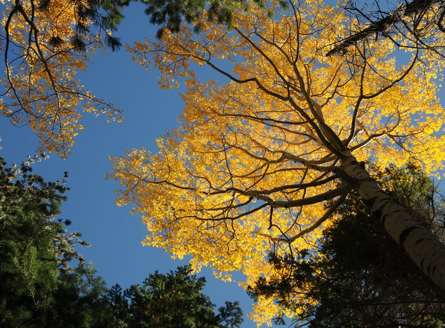 Aspen color peaks early in Abineau Canyon because of the high elevation.