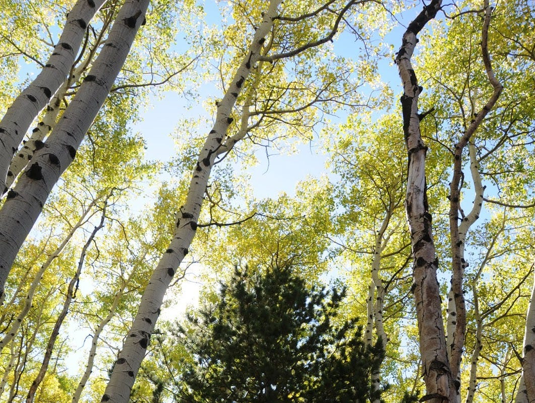 The forest includes aspens and mixed conifers.