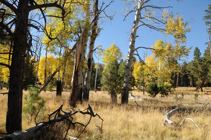 Aspens in a meadow near the Abineau-Bear Jaw trailhead.