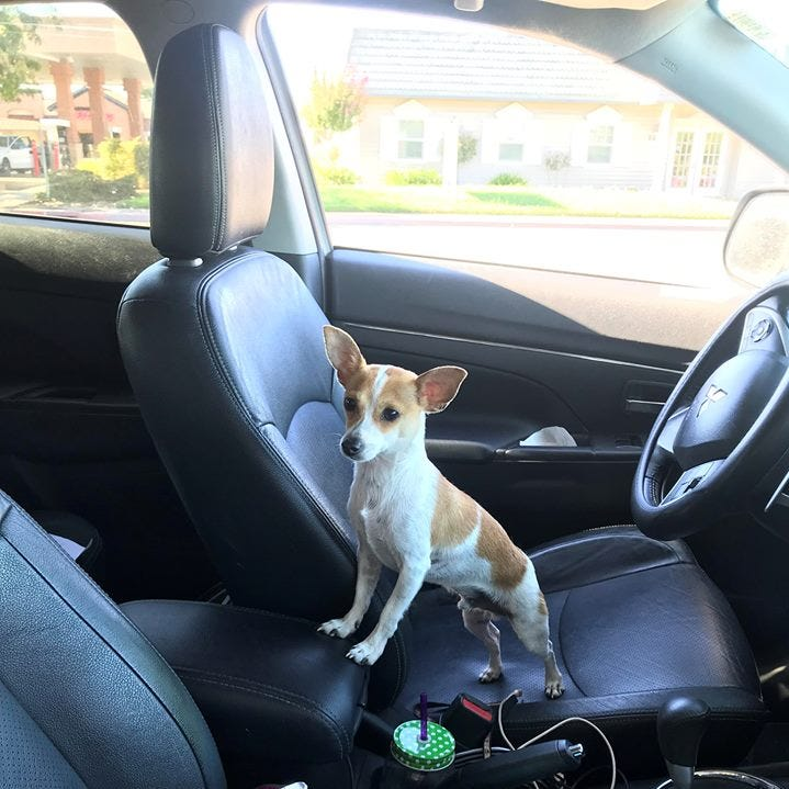 Sam the Chihuahua rescued from probationers who allegedly stole car in Anderson