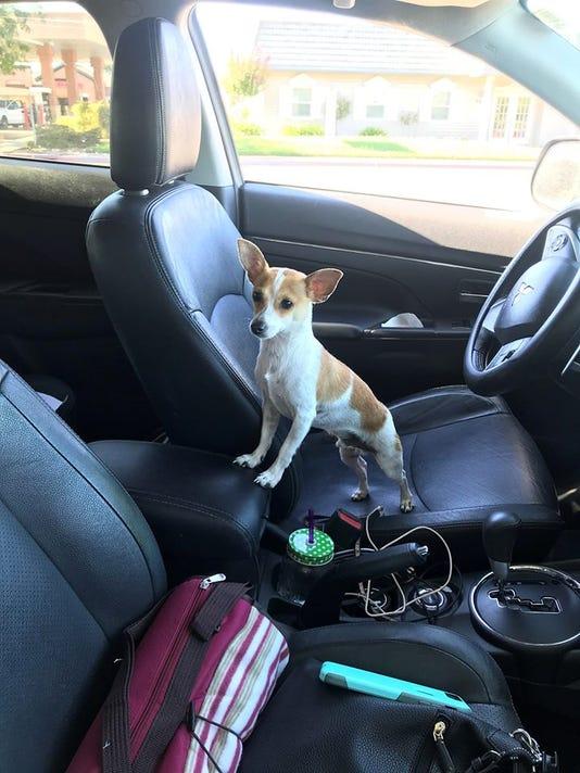 Resultado de imagen para chihuahua in a car