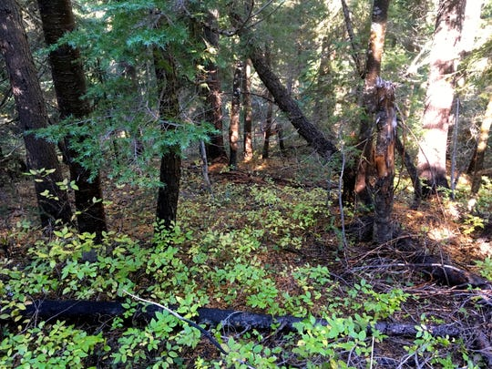 """A lower intensity wildfire burned through the """"green islands"""" of forest within the area hit by the B&B Complex. It saw """"ground fire"""" that left most of the trees alive."""