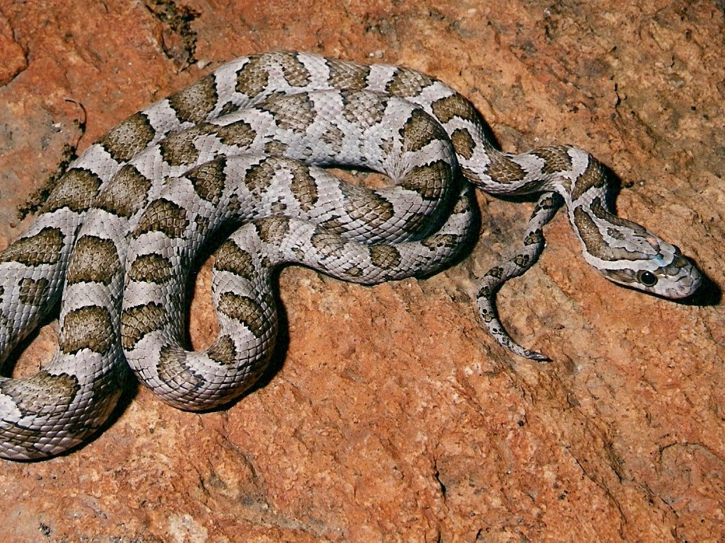 Great Plains Ratsnake somewhat docile, nothing to worry about if you see it crossing roads