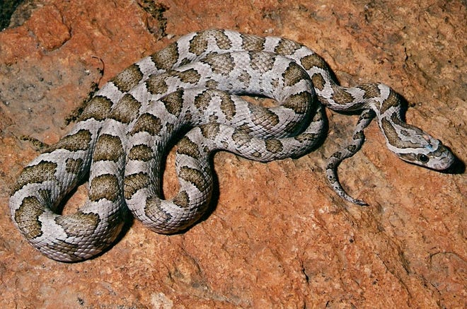 The common name for the Great Plains Ratsnake not only describes where it prefers to live, but also what it eats.