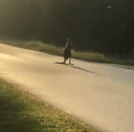 A 5-year-old kangaroo named Storm escaped a Jupiter Farms-based animal sanctuary Tuesday morning.