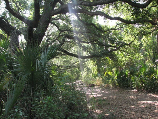 A rustic path leads to a large tree in Oak Hammock Park, believed to be haunted by the spirits of two teens killed there in the 1970s.