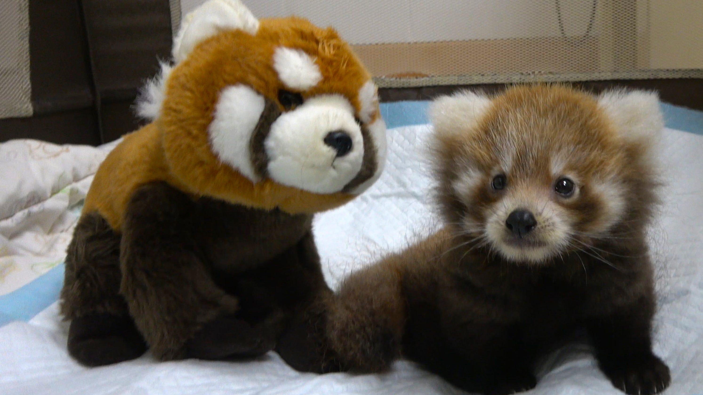 Baby red panda,...