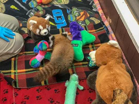 Oolong (center), Binder Park Zoo's newest baby red panda, explores the nursery under careful watch of staff veterinarian Kim Thompson and visitors to the zoo.
