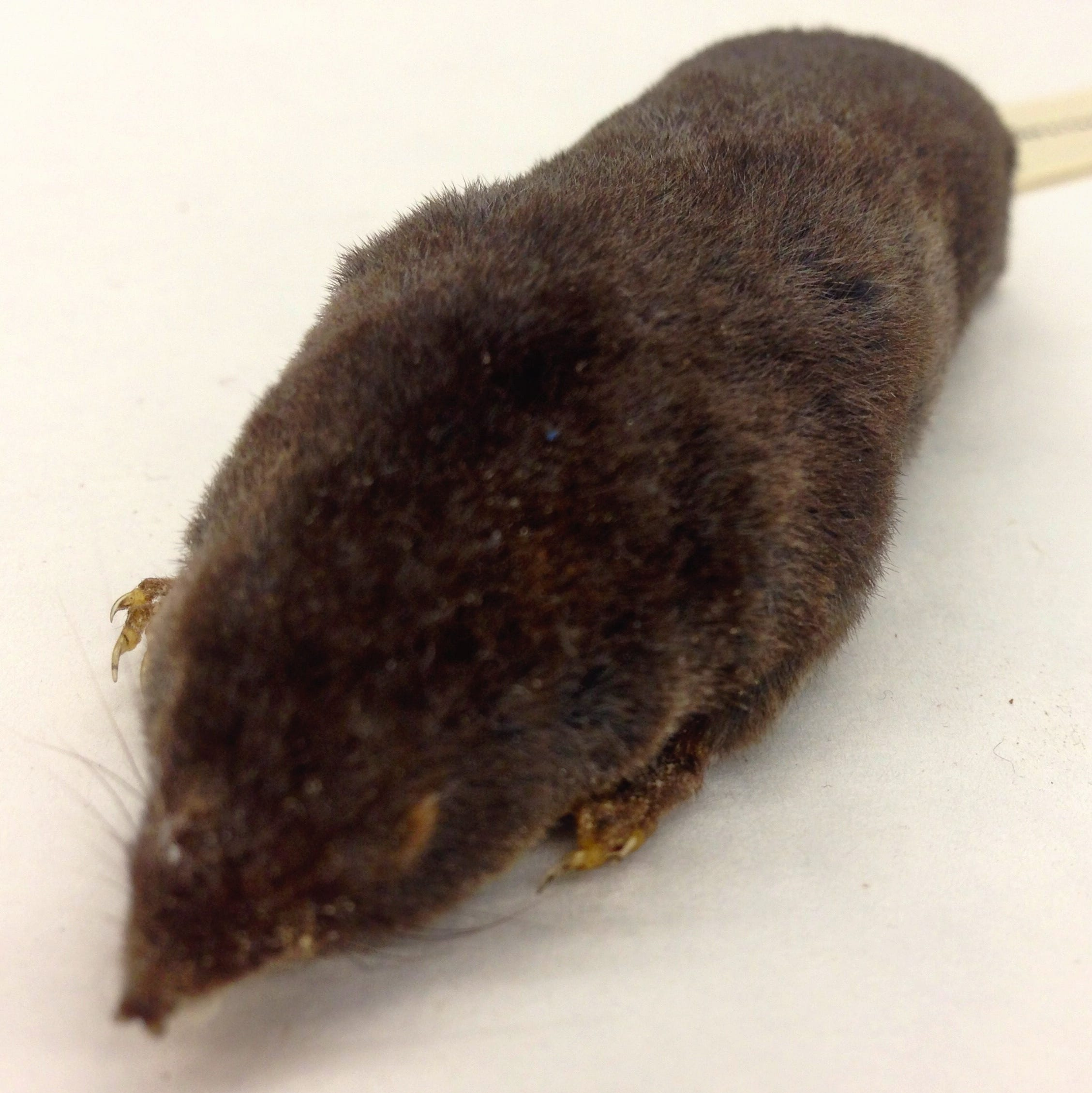 Trying to solve the mystery of the elusive Sherman's short-tailed shrew