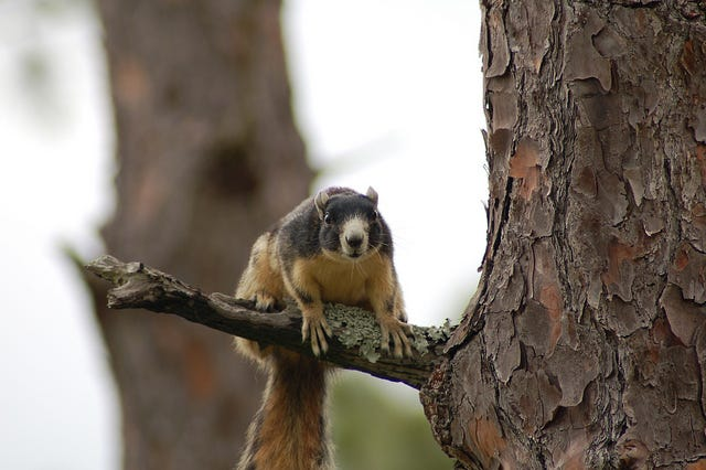 No longer imperiled: The FWC has delisted the Southern fox squirrel.
